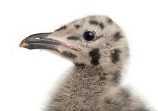 欧洲鲱鸥小鸡, Larus argentatus 免版税图库摄影