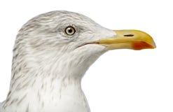 欧洲鲱鸥, Larus argentatus 免版税库存图片