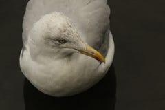 欧洲鲱鸥& x28; 鸥属argentatus& x29; 库存照片
