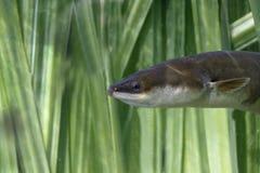 欧洲鳗鱼,安圭拉安圭拉 库存图片