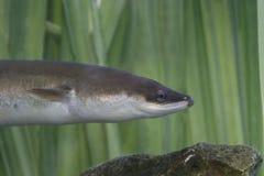 欧洲鳗鱼,安圭拉安圭拉 免版税库存图片
