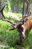 欧洲鹿特写镜头照片与鹿角的 免版税库存图片