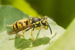 欧洲黄蜂 免版税库存照片