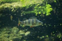 欧洲fluviatilis鲈鱼属栖息处 库存图片