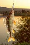欧洲fluviatilis鲈鱼属栖息处 免版税库存图片