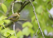 欧洲greenfinch虎尾草属虎尾草属 库存照片