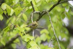 欧洲greenfinch虎尾草属虎尾草属 免版税库存图片