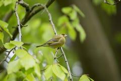 欧洲greenfinch虎尾草属虎尾草属 免版税图库摄影