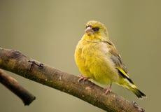 欧洲greenfinch & x28; 虎尾草属chloris& x29; 图库摄影