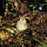 欧洲greenfinch 免版税库存照片
