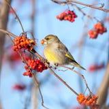 欧洲greenfinch (Carduelis虎尾草属) 库存照片