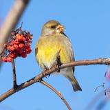 欧洲greenfinch (Carduelis虎尾草属) 免版税图库摄影