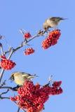 欧洲greenfinch (Carduelis虎尾草属) 库存图片