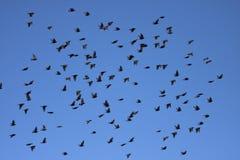 欧洲starling 免版税库存图片