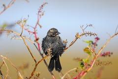 欧洲starling 免版税图库摄影