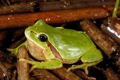 欧洲treefrog雨蛙arborea在Valdemanco,马德里,西班牙 库存图片