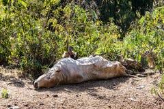 欺骗fulvus吃一头死的母牛的兀鹫在埃塞俄比亚 库存图片
