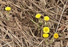 款冬-春天第一朵花  免版税库存照片