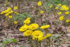款冬黄色花在不生叶的茎的 免版税库存照片