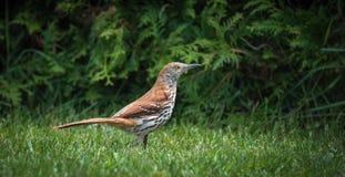 歌手,布朗Thrasher鸫鸟rufum -到处乱跑在昆虫的草狩猎能吃 库存照片