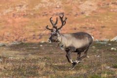 正在寻找圣诞老人的连续驯鹿 库存照片