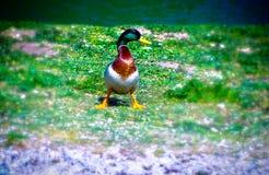 正在寻找她的伴侣的孤独的鸭子 免版税库存照片