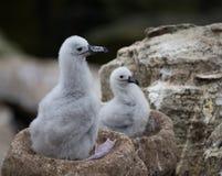 正在寻找妈妈的两只信天翁小鸡 库存图片