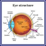 正常的视力 眼珠结构 医学 皇族释放例证