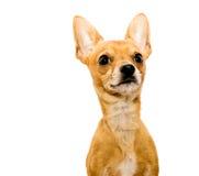 正确机敏的奇瓦瓦狗的狗- 免版税库存照片