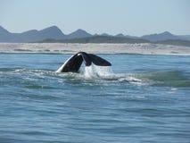 正确的南部的尾标鲸鱼 库存照片