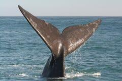 正确的南部的尾标鲸鱼 免版税库存图片