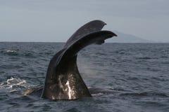 正确的南部的尾标鲸鱼 免版税库存照片