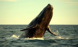 正确的南部的鲸鱼 库存照片