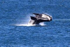正确的南部的鲸鱼 库存图片