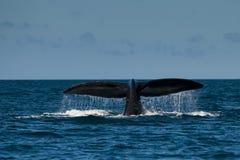 正确的南部的鲸鱼 免版税库存图片