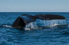 正确的南部的鲸鱼 免版税图库摄影