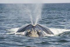 正确的南部的鲸鱼 图库摄影