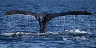 正确的尾标鲸鱼 库存照片