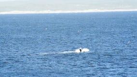 正确的尾标鲸鱼 股票视频
