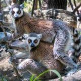正确的被盯梢的狐猴 免版税库存照片