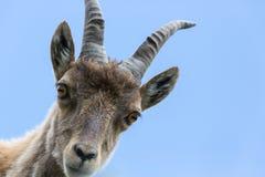 正面图画象年轻高山高地山羊山羊座蓝天 免版税库存照片
