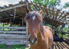 正面图头射击了一匹美丽的栗子褐色公马 库存照片