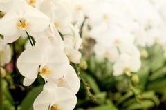正面感觉光白色Farland兰花花在有自然白色口气和软的焦点背景的庭院里 免版税库存照片