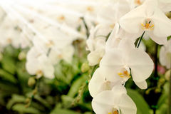 正面感觉光白色Farland兰花花在有自然白色口气和软的焦点背景的庭院里 免版税库存图片