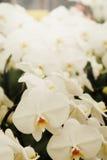 正面感觉光白色Farland兰花花在有自然白色口气和软的焦点背景的庭院里 图库摄影
