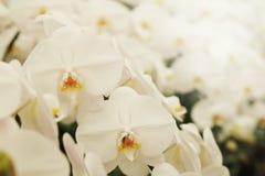 正面感觉光白色Farland兰花花在有自然白色口气和软的焦点背景的庭院里 库存图片