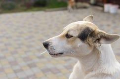 正面混杂的吮在街道上的品种幼小狗棒棒糖 免版税库存图片