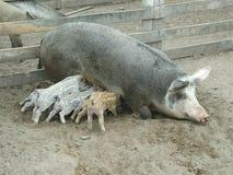 正餐小猪 图库摄影