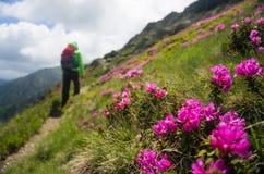 步行在一条美丽的道路的背包徒步旅行者用桃红色杜鹃花开花 免版税库存图片