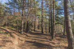 步行在杉木森林里在秋天 库存照片